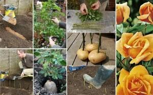 Как да засадим роза в картоф