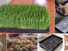 How-To-Grow-Your-Own-Wheatgrass