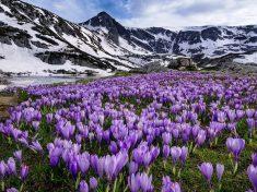 Rila Mountains Bulgaria National Park Flowers Crocus Spring Snow High Resolution