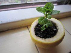 seedlingpot
